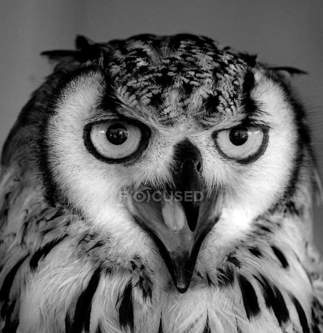 Portrait of an Owl, extreme closeup view — Stock Photo