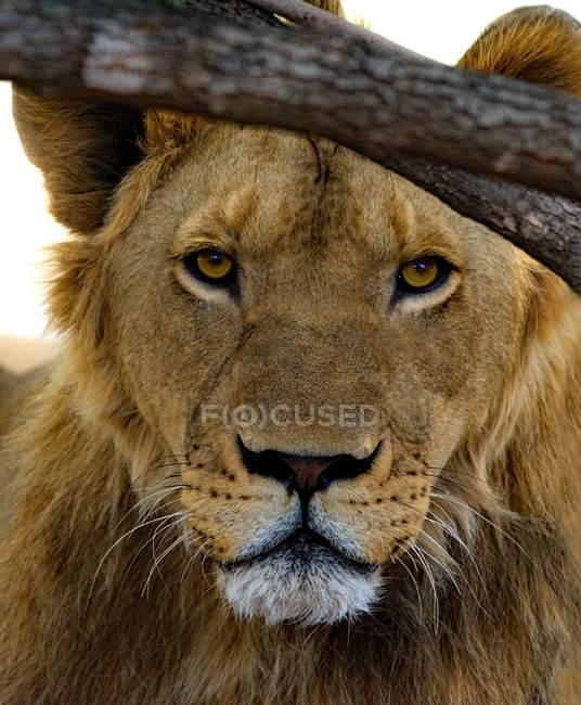 Портрет льва под деревом, южная Африка — стоковое фото