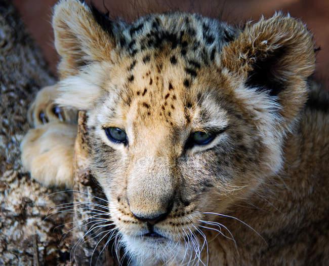 Портрет львенка крупным планом, размытый фон — стоковое фото