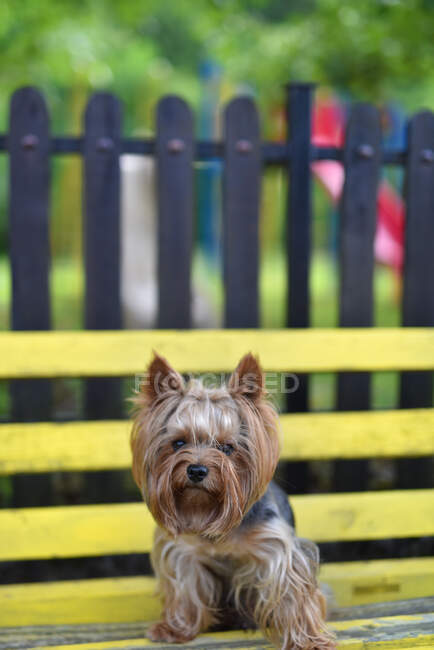 Closeup view of Yorkshire terrier dog sitting on a bench — Stock Photo