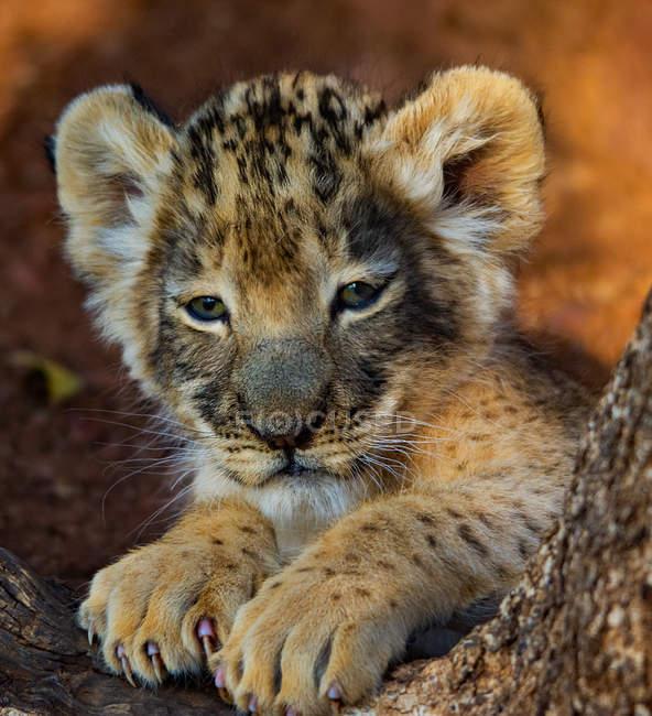 Porträt eines Löwenjungen, verschwommener Hintergrund — Stockfoto