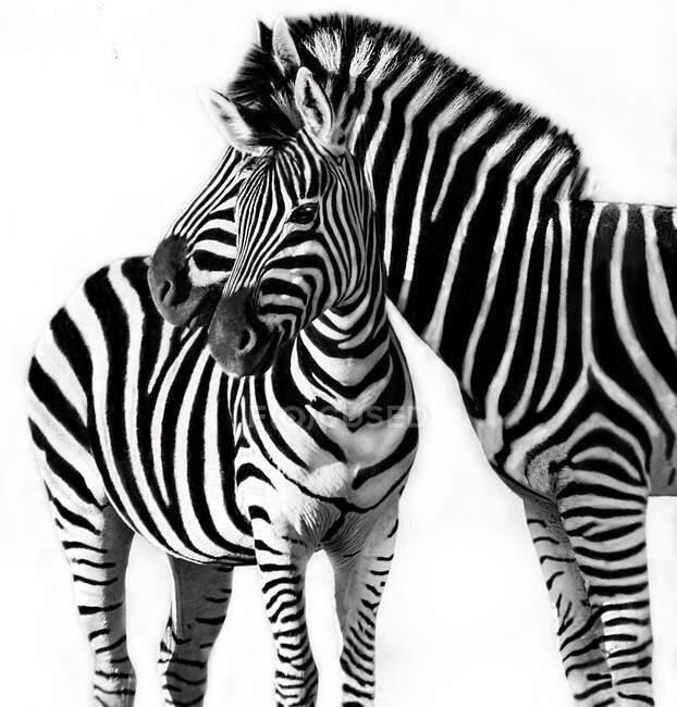 Ritratto di una zebra con il suo puledro, Sud Africa — Foto stock