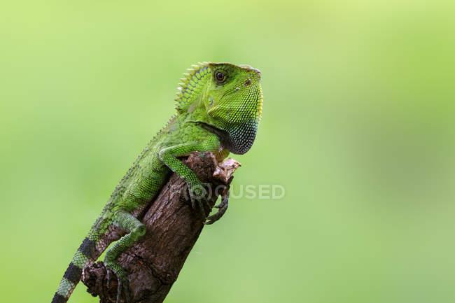 Green lizard on a branch, closeup view, selective focus — Stock Photo