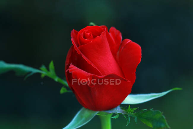 Close-up view of a red rose on blurred background — Stock Photo