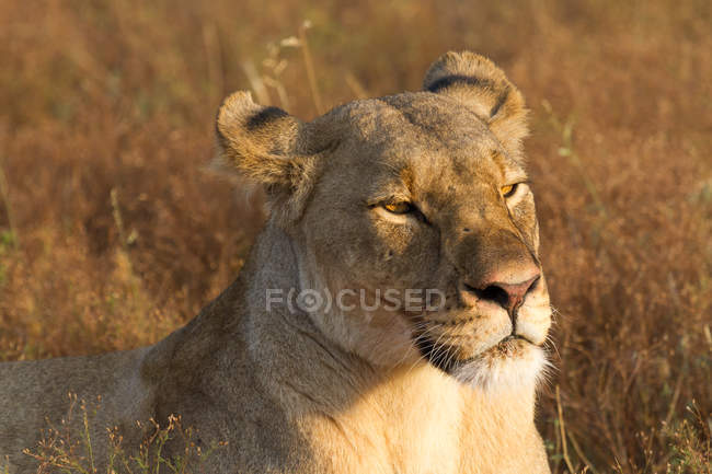 Retrato do belo leão relaxante no safari — Fotografia de Stock