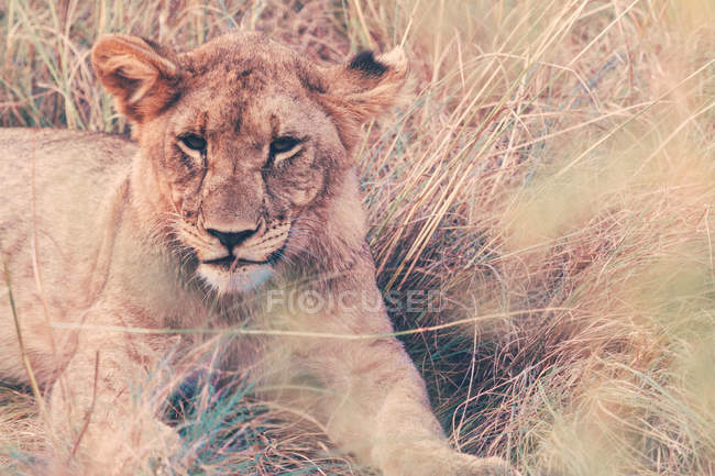 Portrait of beautiful lion relaxing at safari — Stock Photo