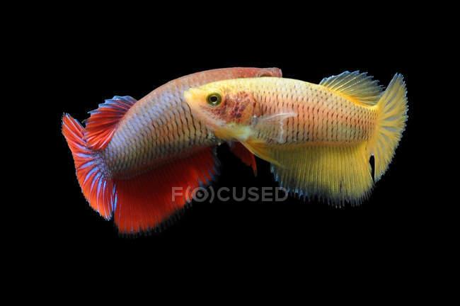 Dos peces betta nadando sobre fondo negro - foto de stock