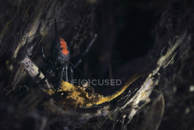 Redback spider  in a garden, selective focus — Photo de stock