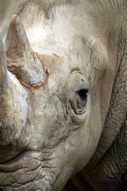 Крупным планом вид морды серый носорог — стоковое фото