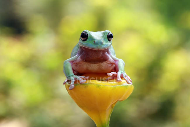 Dumpy tree frog sitting on a plant, blurred background — Stock Photo
