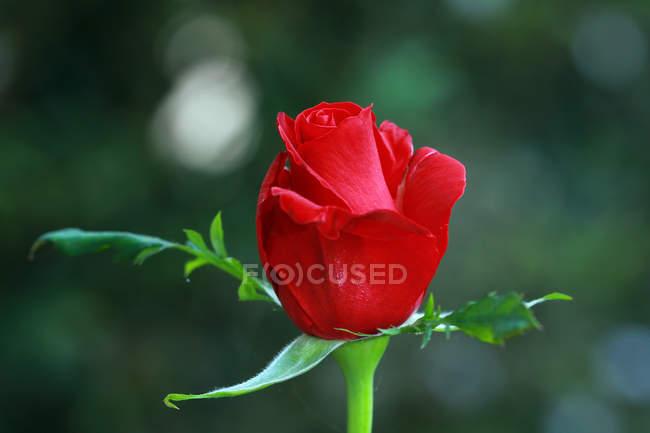 Nahaufnahme einer roten Rose auf verschwommenem Hintergrund — Stockfoto