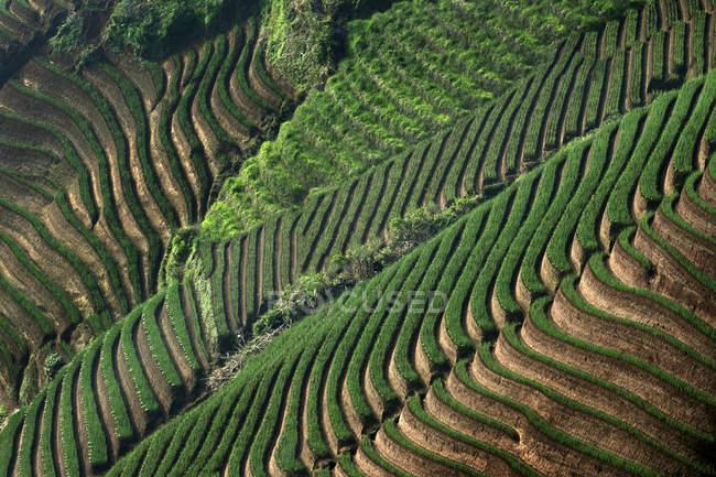 Вид с воздуха на лук, выращиваемый на террасных полях, Индонезия — стоковое фото