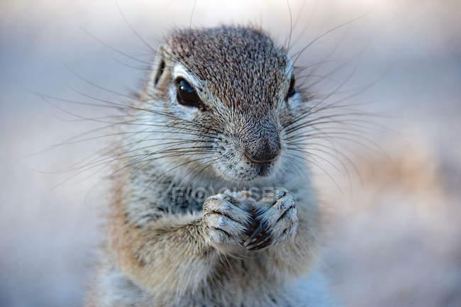 Portrait d'un mignon écureuil de terre tenant ses pattes ensemble sur fond flou — Photo de stock