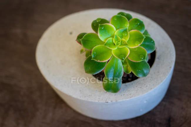 Planta suculenta en un jarrón de hormigón, vista de primer plano - foto de stock