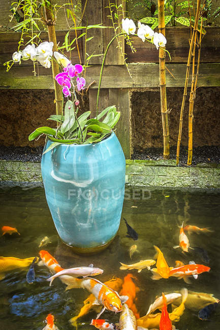 Orchids in a blue pot in a carp pond — Stock Photo