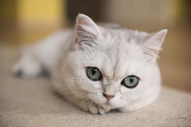 Vista ravvicinata di un gatto bianco sdraiato su un tappeto — Foto stock