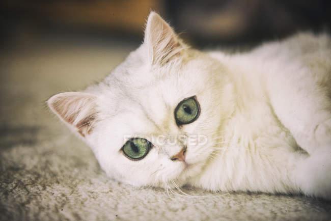 Крупный план белого кота, лежащего на ковре — стоковое фото
