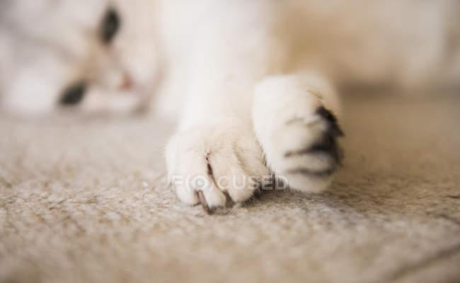Vue rapprochée d'un chat pattes, fond flou — Photo de stock