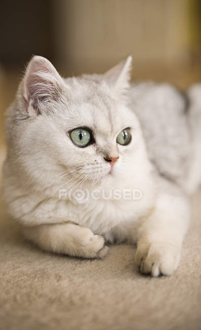 Close-up view of a white cat lying on a carpet — Stock Photo