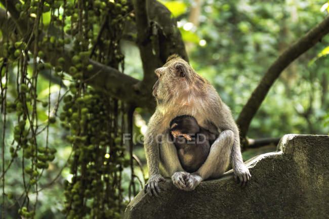 Porträt von weiblich Affe balinesischen langschwänzigen mit ihren Säugling in der Sacred Monkey Forest in Ubud, Bali, Indonesien — Stockfoto