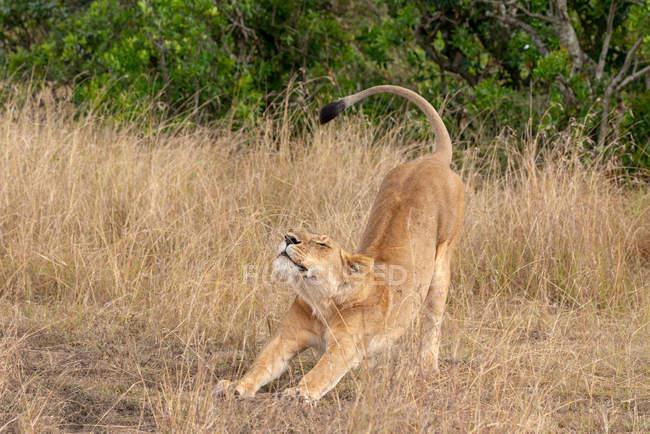 Retrato de uma leoa que estica na grama longa — Fotografia de Stock