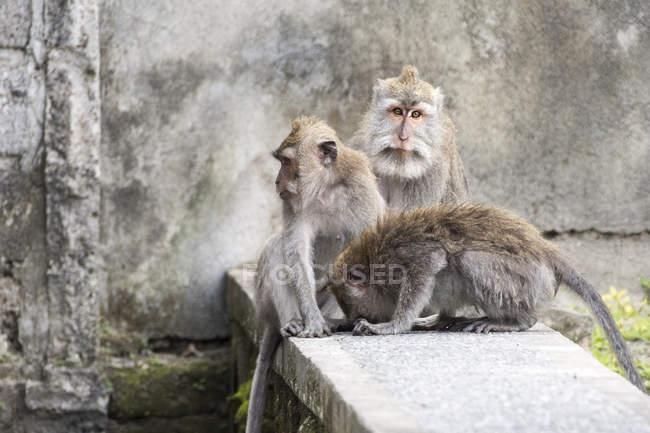 Три балійскій довгий хвіст мавп в ліс, Ubud, Балі, Індонезія — стокове фото