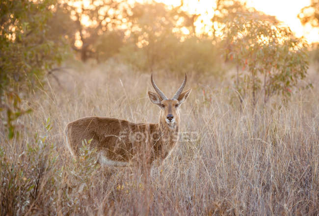 Portrait of a Waterbuck, Limpopo, South Africa — Stock Photo