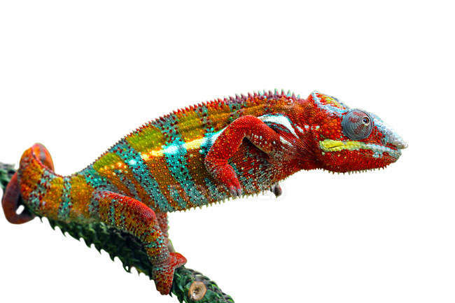 Side view of Panther chameleon on a branch, white background — Stock Photo