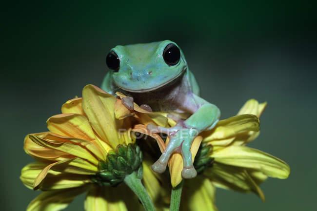Dumpy rana árbol en una flor, fondo borroso - foto de stock