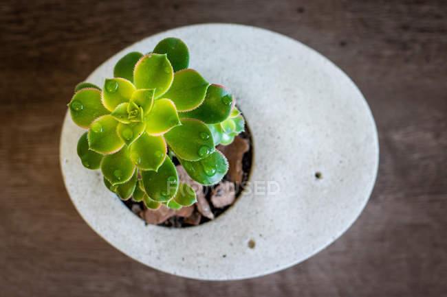 Суккулентное растение в бетонной вазе, вид вблизи — стоковое фото