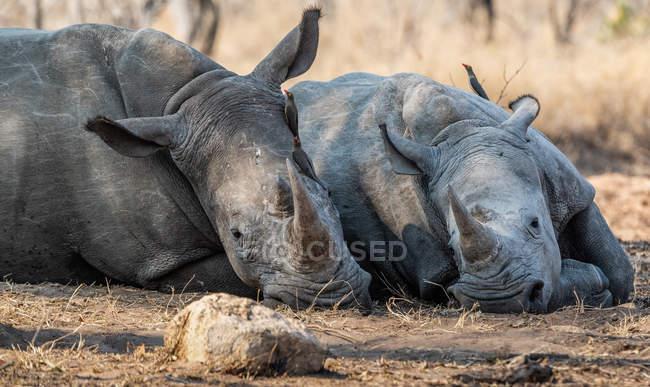 Птицы, сидя на двух носорогов, лежа в Буша, Южная Африка — стоковое фото
