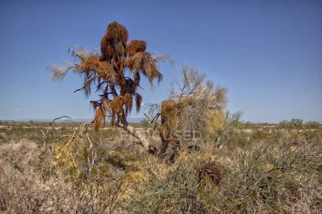 Árbol de Palo verde infestado de muérdago en el desierto, Arizona, Estados Unidos - foto de stock