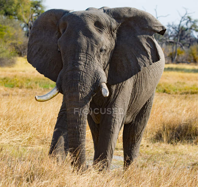 Scenic view of majestic elephant walking at Botswana — Stock Photo
