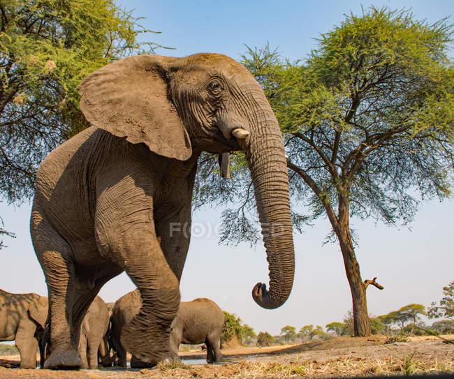 Vista panoramica di maestoso elefante toro da un pozzo d'acqua, Botswana — Foto stock