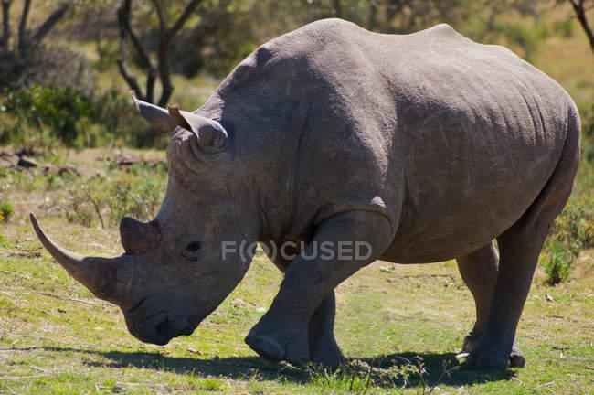 Портрет носорог, прогулки на природе, Южная Африка — стоковое фото