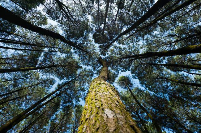 Vue en angle bas d'un pin, Indonésie — Photo de stock