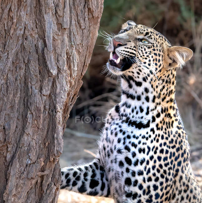 Scenic view of Leopard sniffing up a tree, Samburu, Kenya — Stock Photo