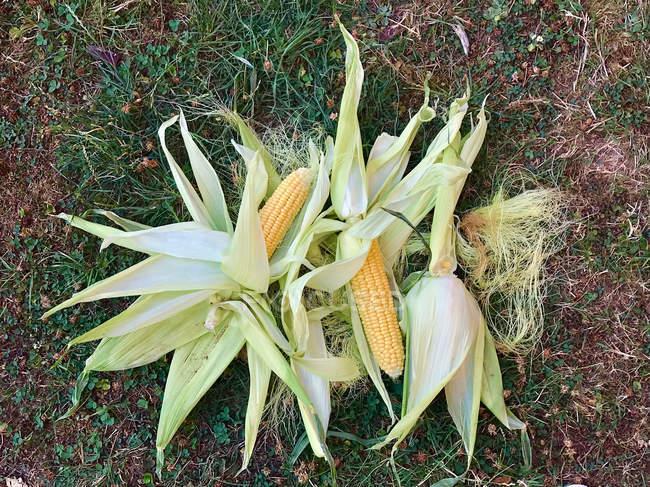 Fresh corn cobs on the ground — Stock Photo