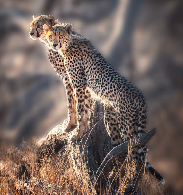 Scenic view of Two Cheetah cubs standing on a rock, Kenya — Stock Photo