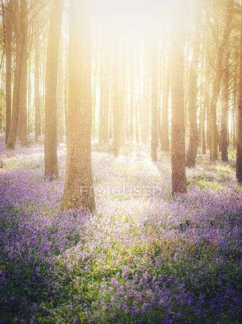 Bluebell woods in the spring, Warwickshire, England, UK — стоковое фото