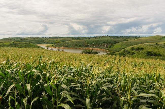 Campos de maíz que crecen a lo largo del río, Mandalika, Lombok, Indonesia - foto de stock