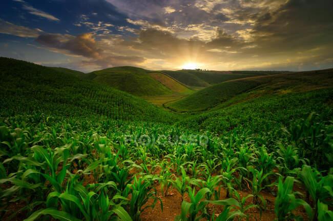 Campos de maíz creciendo en colinas, Mandalika, Lombok, Indonesia - foto de stock