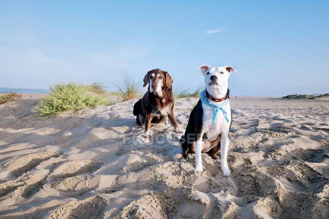 Old Chocolate labrador dog and mixed pointer dog sitting on beach, California, USA — Stock Photo