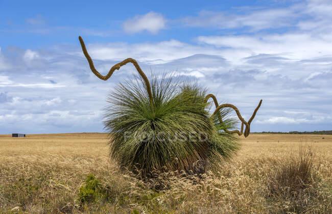 Árboles de hierba nativa en el arbusto a las afueras de Perth, Australia Occidental, Australia - foto de stock