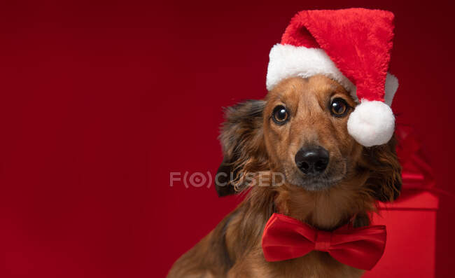 Dachshund sitting in front of a Christmas gift wearing a Santa hat and bow tie — Stock Photo