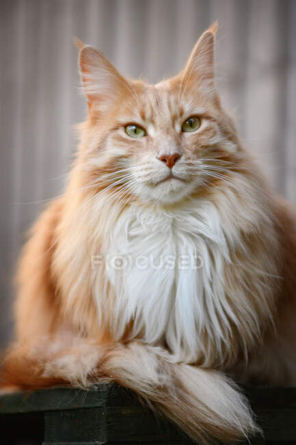 Portrait of a ginger Maine coon cat sitting on a terrace — Stock Photo