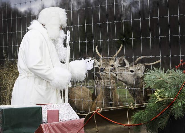 Santa Claus feeding reindeer on a farm, Lithuania — Stock Photo