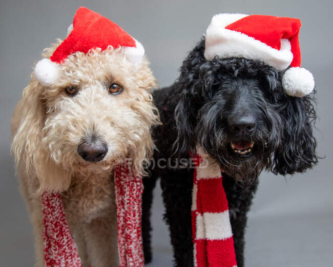 Two labradoodles standing side by side wearing Santa hats — Stock Photo