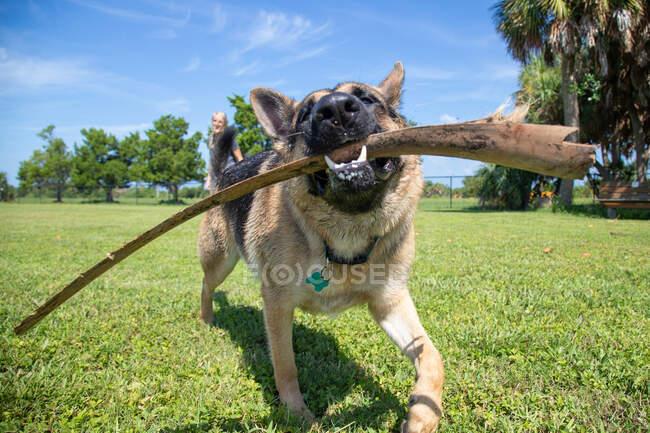 Pastor alemán en un parque de perros que lleva un palo con una mujer en la distancia, Florida, EE.UU. - foto de stock
