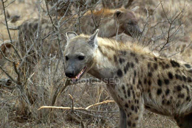 Retrato de una hiena manchada, Parque Nacional Kruger, Sudáfrica - foto de stock